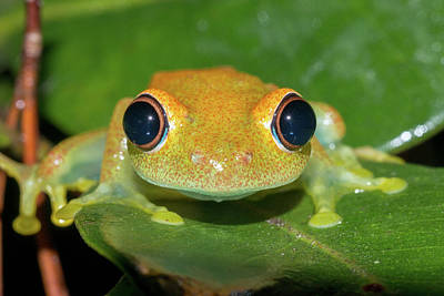 Green Bright-eyed Tree Frog Poster by Dr P. Marazzi
