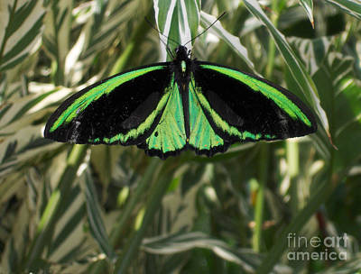 Poster featuring the photograph Green Butterfly by Brenda Brown