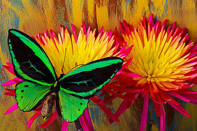 Green Butterfly Resting On Mum Poster by Garry Gay