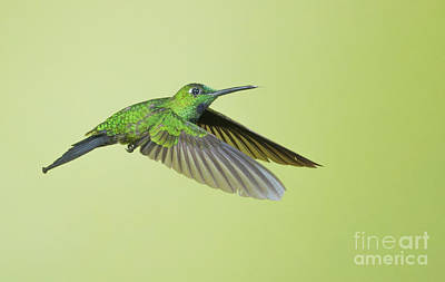Poster featuring the photograph Green-crowned Brilliant Hummingbird by Dan Suzio