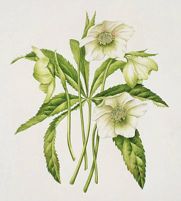 Green Hellebore Poster