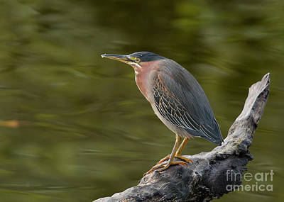 Poster featuring the photograph Green Heron by Doug Herr