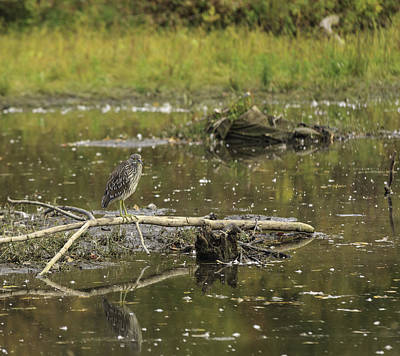 Juvenile Black Crowned Night Heron In A Marsh Poster