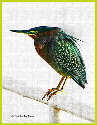 Green Heron In Scottsdale Poster by Tom Janca