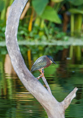Green Heron On A Crystal Clear Lake Poster by Andres Leon