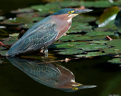 Poster featuring the photograph Green Heron Reflection 1 by Avian Resources