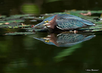 Poster featuring the photograph Green Heron Reflection 2 by Avian Resources