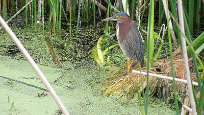 Poster featuring the pyrography Green Heron by Ron Davidson