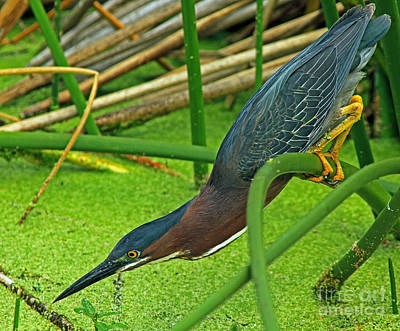 Green Heron The Stretch Poster