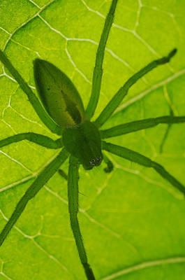 Green Huntsman Spider Poster