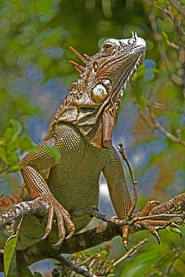 Poster featuring the photograph Green Iguana by Dennis Cox WorldViews