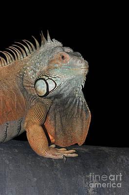Green Iguana  Poster by Judy Whitton