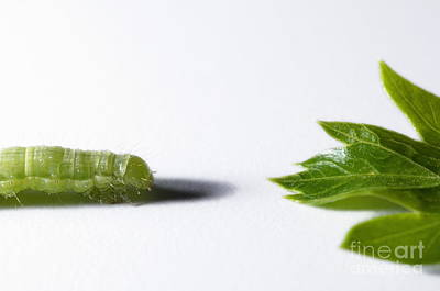 Green Inchworm And Parsley Leaf Poster by Sami Sarkis