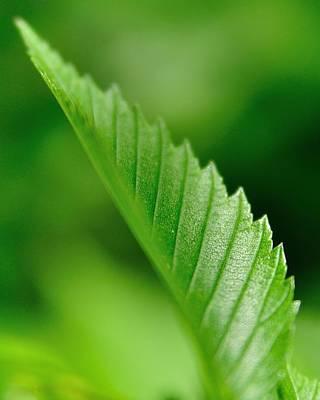 Green Leaf 002 Poster