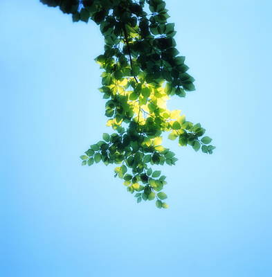 Green Leaves In The Sunshine - Soft - Available For Licensing Poster