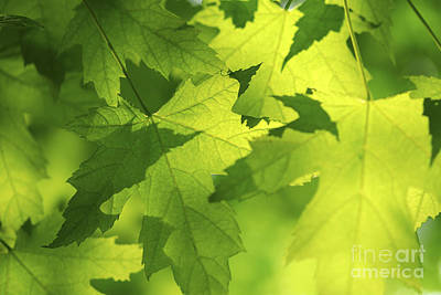 Green Maple Leaves Poster