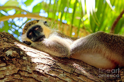Green Monkey Sleeping On Tree Poster by Matteo Colombo