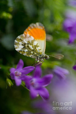 Green-orange Butterfly Sitting On The Violet Bells Flowers Poster