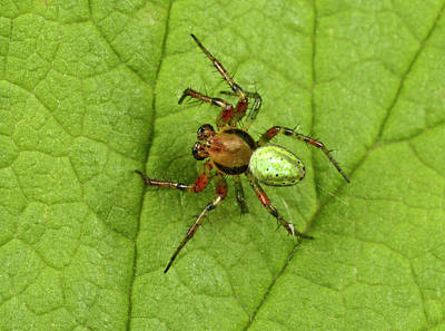Green Orb-weaver Spider Poster by Nigel Downer