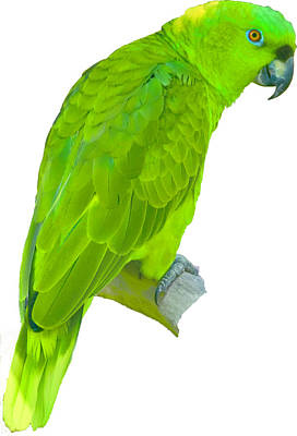 Green Parrot Poster