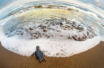 Green Sea Turtle Chelonia Mydas Poster