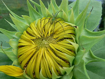 Green Spider On A Sunflower Poster by MM Anderson