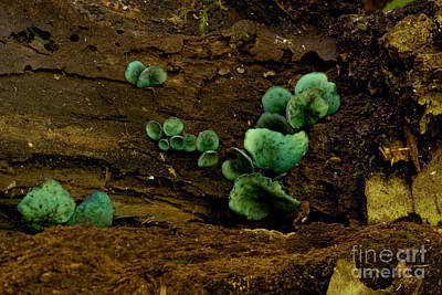 Green Stain Fungus Poster by Paul Whitten
