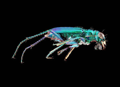 Green Tiger Beetle Poster by Us Geological Survey