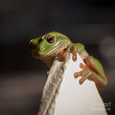Green Tree Frog Keeping An Eye On You Poster by Peta Thames