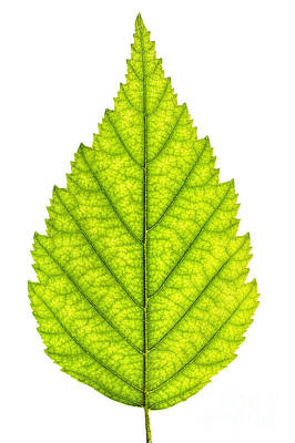 Green Tree Leaf Poster by Elena Elisseeva