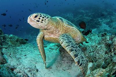 Green Turtle Resting On Reef Poster