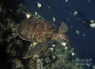 Poster featuring the photograph Hawksbill Turtle by Sergey Lukashin