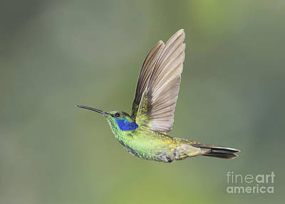 Poster featuring the photograph Green Violet-ear Hummingbird by Dan Suzio