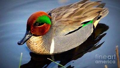 Green Winged Teal  Duck  Poster by Susan Garren