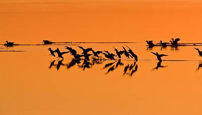 Green-winged Teal Ducks At Sunset Poster