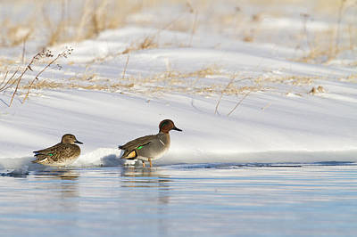 Green Winged Teal On Ice Poster by Tim Grams
