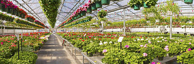 Greenhouse Full Of Geraniums Panorama Photograph Poster by Keith Webber Jr