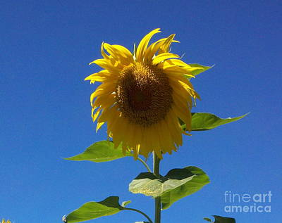 Sunflower With Open Arms Poster