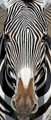 Greveys Zebra, Samburu National Poster by Panoramic Images