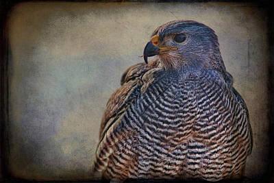 Grey Hawk Poster by Barbara Manis