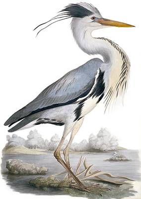 Grey Heron, 19th Century Poster
