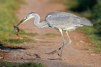 Grey Heron And Prey Poster