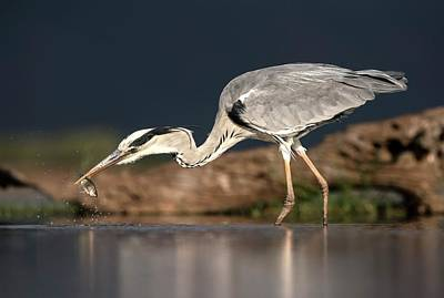 Grey Heron With A Fish Poster