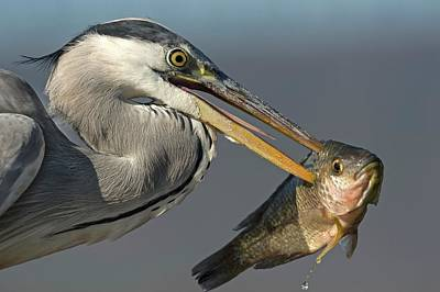 Grey Heron With Fish In Its Bill Poster