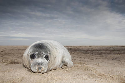 Grey Seal On Beach Norfolk England Poster by Kyle Moore