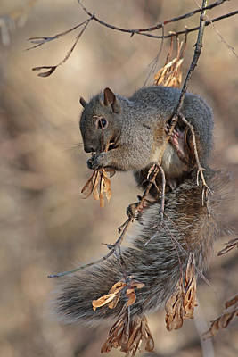 Grey Squirrel Poster by Jim Nelson