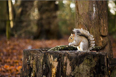 Grey Squirrel On A Stump Poster