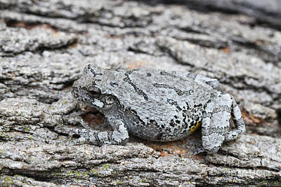Poster featuring the photograph Cope's Gray Tree Frog by Judy Whitton
