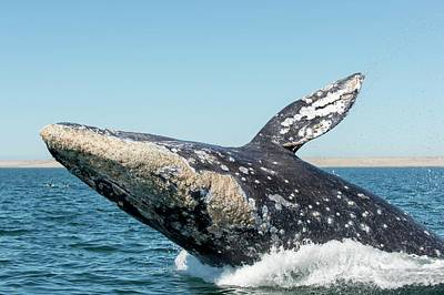 Grey Whale Breaching Poster by Christopher Swann