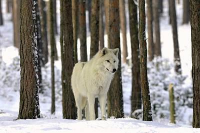 Grey Wolf In Winter Poster by Bildagentur-online/mcphoto-schulz